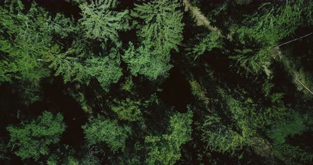 flying upwards : Drone slowly rising up above calm green forest. Aerial 4K vertical top view shot of beautiful evergreen pine treetops. Stock Footage