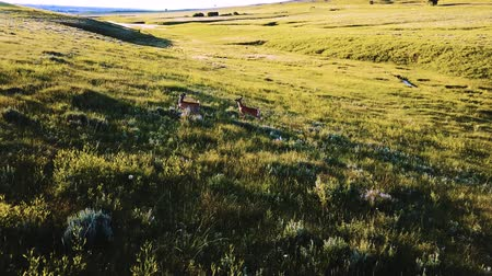 Drone camera following wild deer running free in majestic hilly grassland landscape of plain field in a national park.