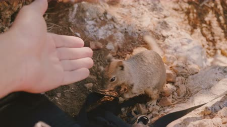 feeding ground : Beautiful close-up shot of cute wild grey squirrel sitting on sunny park ground near backpack and smelling human hand. Stock Footage