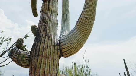 kaktus : Close-up low angle camera moves around big lush mature Saguaro cactus growing very tall near Tucson Arizona area, USA.