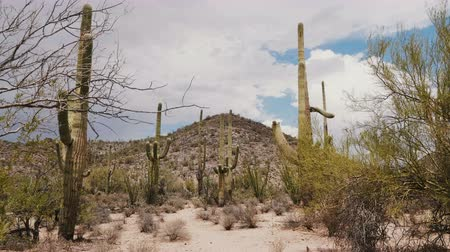 anka kuşu : Camera quickly tilts up on big Saguaro cacti growing under hot sunny desert hill in natonal park near Tucson Arizona USA Stok Video
