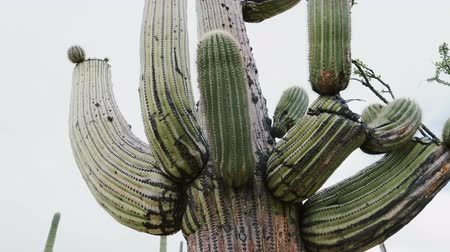 anka kuşu : Beautiful atmospheric close-up panning shot of big lush mature Saguaro cactus growing very tall in Arizona desert USA. Stok Video
