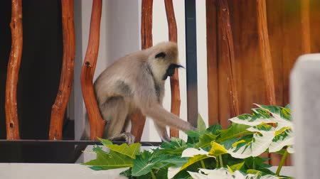animais em extinção : Funny cute white monkey sitting on decorative wooden building fence eating leaves on sunny Sri Lanka exotic resort.