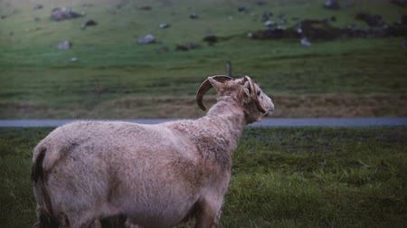 bámul : Mountain sheep walking on the field alone. Farm animal grazing on the meadow with green grass in Iceland.