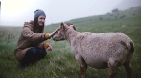 tame animal : Young traveling woman feeding the mountain sheep at the field in Iceland. Female enjoying the nature with wild animal.