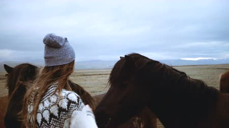 juba : Young brunette woman feeding brown Icelandic horses grazing on the field together, animal farm in Iceland.