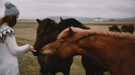 juba : Young happy woman in lopacea sweater feeding Icelandic horses with bread and stroking they. Farm animals.