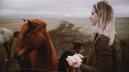 ear protection : Woman feeding and stroking Icelandic horses grazing on a field. Female enjoying landscape and animals on the farm.