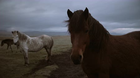 midilli : Beautiful landscape of brown and white Icelandic horses grazing on the field together in overcast day. Stok Video