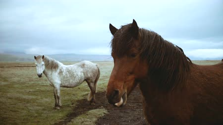 bailler : Beautiful landscape of Icelandic horses grazing on the field. Brown horse yawns, shows teeth at camera. Vidéos Libres De Droits