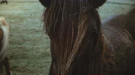 midilli : Beautiful landscape of brown Icelandic horse grazing on the field in overcast day, mane waving on wind.