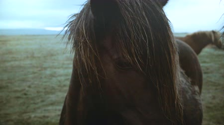 пони : Close-up view of famous brown Icelandic horses grazing on the field in overcast day, mane waving on wind.