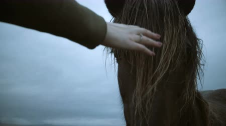 juba : Close-up view of beautiful brown Icelandic horse grazing on a field. Female hand touching, stroking mane. Stock Footage