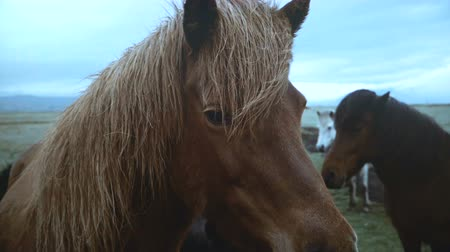 пони : Close-up view of beautiful famous Icelandic horse grazing on the field with herd in overcast day.