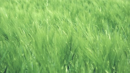 fertility : Wheat field swaying in the wind Stock Footage