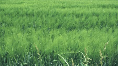 sake : Wheat field swaying in the wind Stock Footage