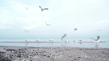 baltık denizi : Seagulls on the Baltic sea in winter