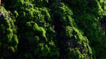 liken : Close-up Tracking Shot Of Forest Moss