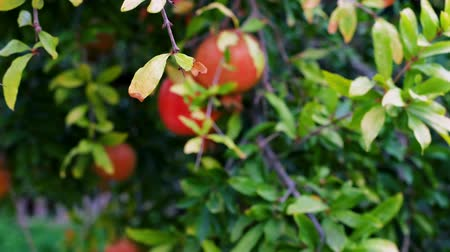 romã : Organic Pomegranates Ripe hanging on a branch in orchard. Pomegranate fruit. Sun light. 4k video footage