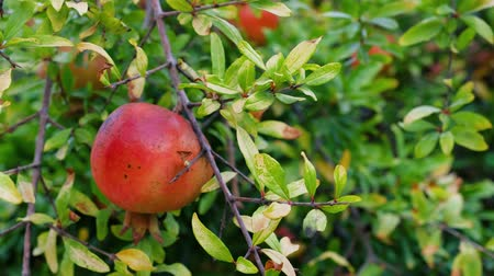 cultivation : Organic Pomegranates Ripe hanging on a branch in orchard. Pomegranate fruit. Sun light. 4k video footage