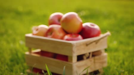 harvesting : Close-up a wooden crate full of red ripe shiny fresh apples standing on the green grass in a sunny summer day. Concept of healthy eating fruit juices and farming. Full hd 1080 footage