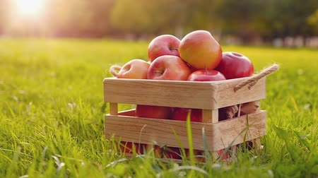 Camera rotates around a wooden crate full of red ripe shiny fresh apples standing on the green grass on a sunny summer day. Concept of vegetarian food fruit smoothie and gardening.