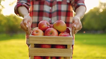 Woman dressed in casual clothes is holding a wooden box in her hands with beautiful ripe red apples standing on a field with a green lawn on a sunny summer warm day. Gardening concept.