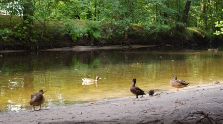 Various birds swim in a pond in a park under the shade of trees Wideo