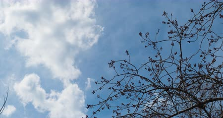flanked : Timelapse spring sky with floating clouds, flanked by large trees, which bloom soon leaves.