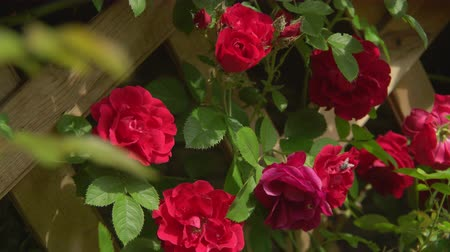 rosebush : Scarlet rosebush outdoors.close-up.Beautiful rose flower growth and twist around wooden fence. On the bud sitting fly.