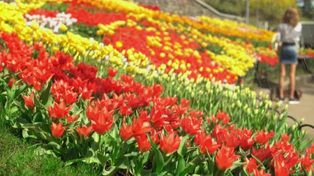 bailer : Gardener is watering the flowers. A big tulip park with many visitors stunned by the beauty.