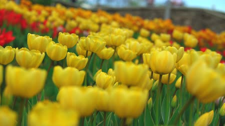 Флеволанд : Stunning fields of yellow flowers. Thousands of yellow tulips bring delight to nomerous visitors of the park.