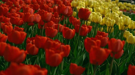 bailer : Freshness in the tulip field. Colorful flowers in dew drops and insects.