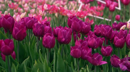 miscellaneous : Amazing puple and pink tulips in the orangery. Diversity of tones of pink color.