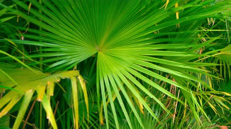szubtropikus : Rainforest plant under bright sun. Saw Palmetto leaves detailed view.