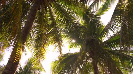 goa : Tall Palm Trees On Clear Summer Sky Background On Sandy Beach. Relaxing Environment. Nature Concept. Stock Footage