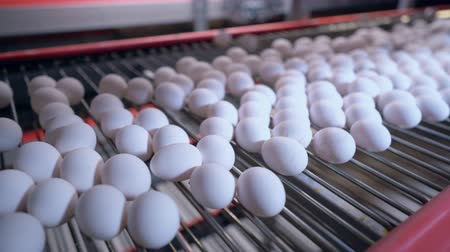 egg sorting : white fresh eggs on the transportation line poultry farm