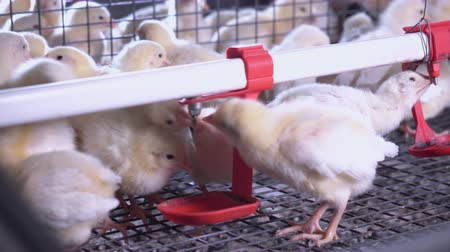 incubator : close up white chickens in cages drinking water Stock Footage