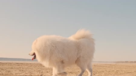 chlupatý : A beautiful white big dog samoyed is going to the men on the lake in summer
