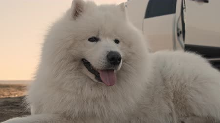 taranmamış : A pretty white big fluffy dog samoyed is lying with sticking out tongue in the nature outdoors