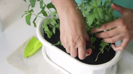 another : The girl transplants mint. Installs pots in the pot.