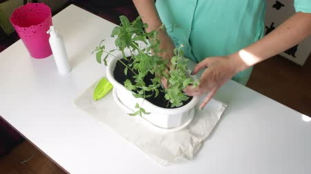 houseplant : The girl transplants mint. Hands tightens the soil at the roots of plants. Stock Footage