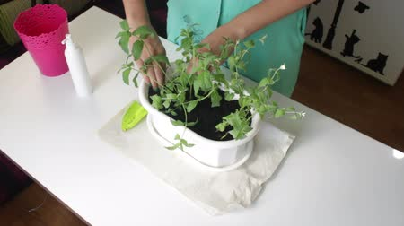 transplant : The girl transplants mint. Hands tightens the soil at the roots of plants. Stock Footage