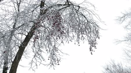 antiquado : Winter Park. Bushes and trees are covered with thick frost. On the branches hang red fruits.