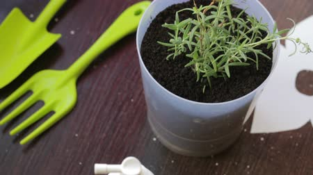 ароматический : Potted rosemary branches. Next tools and spray. Стоковые видеозаписи