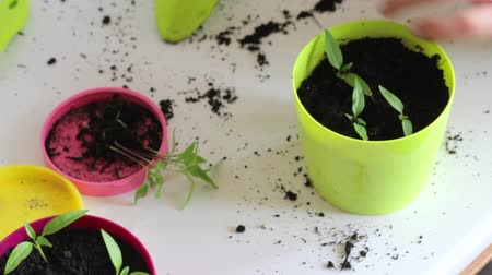 propagação : A woman corrects the seedlings in a pot. Transplanting hot pepper seedlings in a large pot.