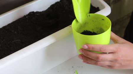 propagação : A woman puts earth in a pot. With the help of the scapula. Transplanting hot pepper seedlings.