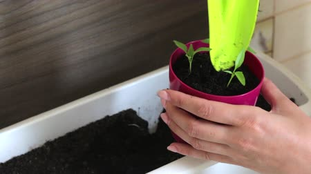 propagação : Woman working with sprouts seedlings. Adds earth to the pot. Transplanting hot pepper seedlings.