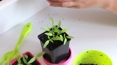 propagação : Woman working with sprouts seedlings. Transplanting hot pepper seedlings.
