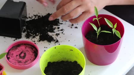 propagação : Woman working with sprouts seedlings. Adds land to them. Transplanting hot pepper seedlings in a large pot. Vídeos